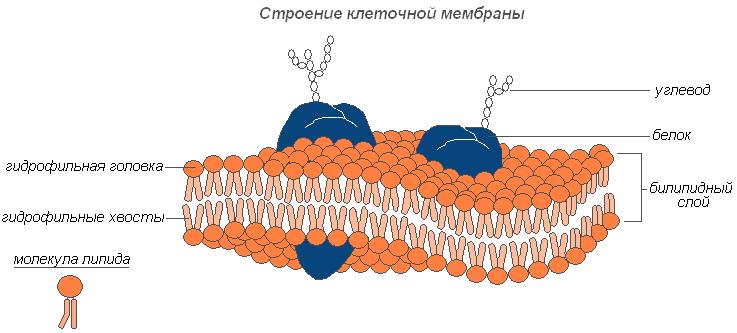 Основу цитоплазмы составляет