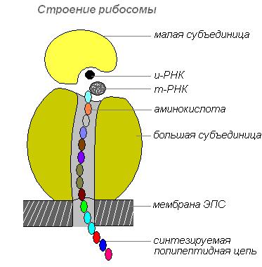 Рибосомы синтезируются в ядре,