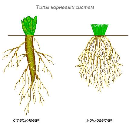 Корни и корневые системы