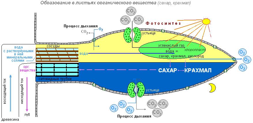 световой фазы фотосинтеза
