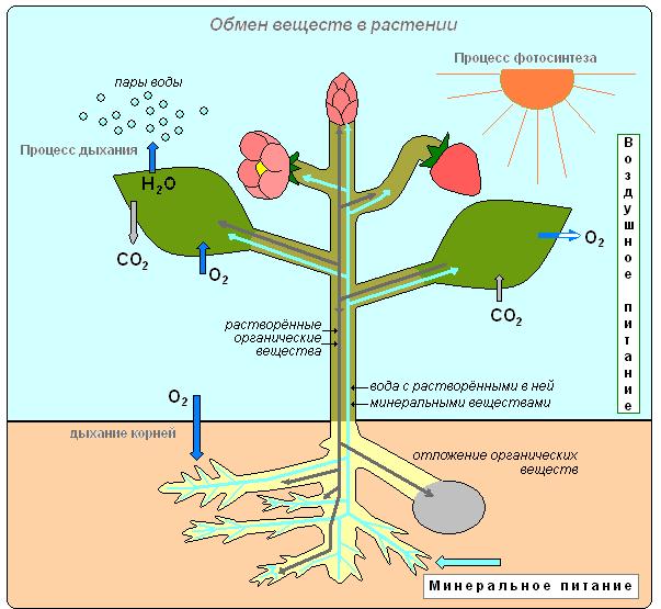 а в процессе фотосинтеза и