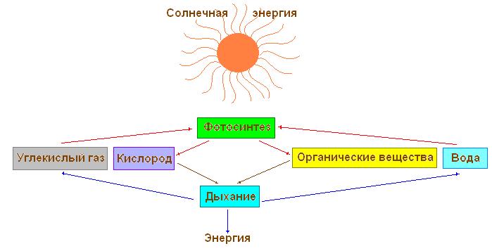 Так, в процессе фотосинтеза из