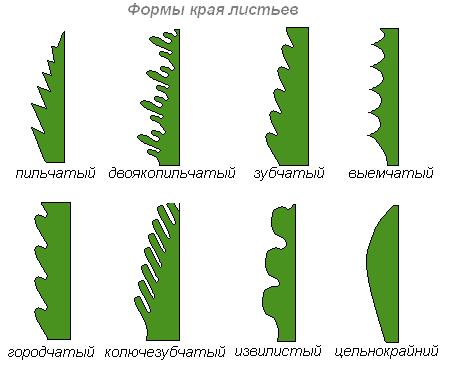 Острая верхушка листовой пластинки примеры растений
