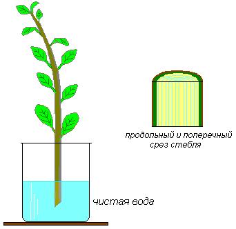 питание растения органическими веществами осуществляется при участии тканей луба