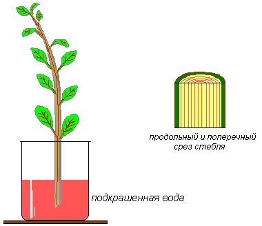 По какой части стебля передвигается вода и минеральные вещества