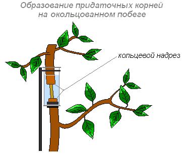 По сосудам стебля перемещаются вода