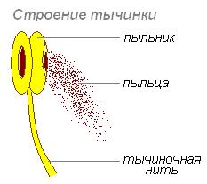 Схема строения пестика