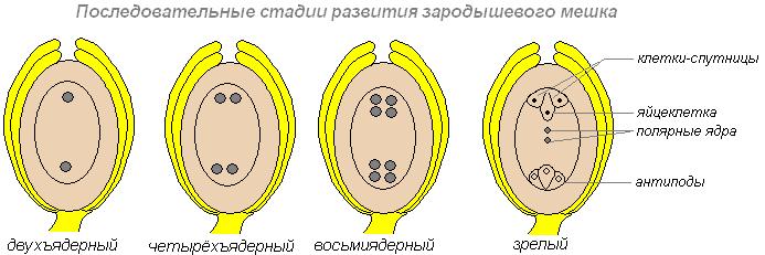 obrazovanie-piltsi-i-spermiev