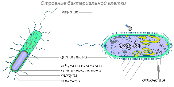 некоторых бактерий имеются