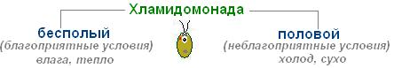 Способ размножения хламидомонады