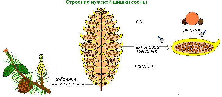 Строение мужской шишки сосны