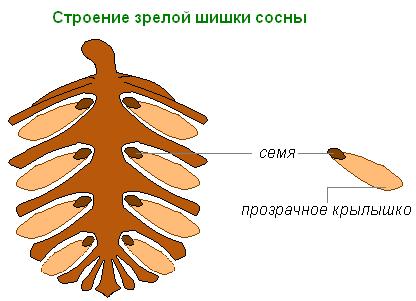 Строение зрелой шишки сосны