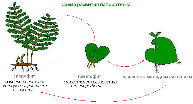 Схема развития папоротника