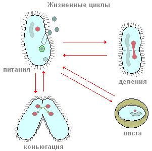 Жизненный цикл инфузории-туфельки