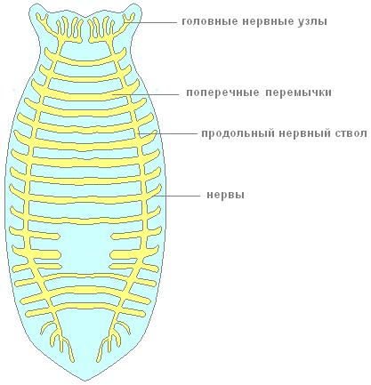 плоских червей состоит из