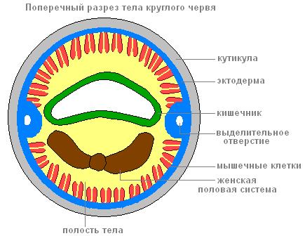 круглых червей расположен