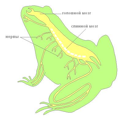 Зелёная лягушка.
