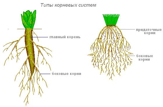 Зарисовать схемы корневых