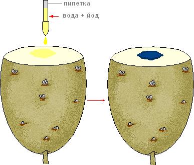 Строение клубня