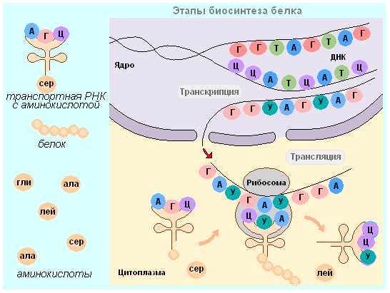 Биосинтез белков рисунок