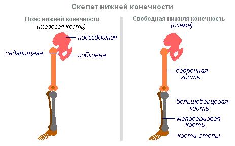 Ноги человека гораздо длиннее
