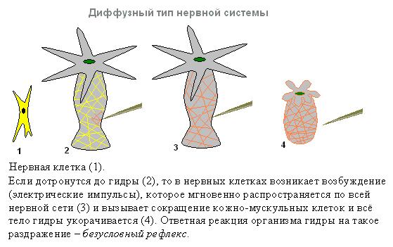 нервная система у гидры картинки