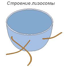 Рисунок цитоплазмы клетки 8