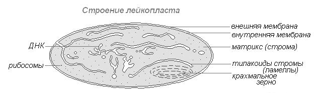 Рисунок цитоплазмы клетки 10