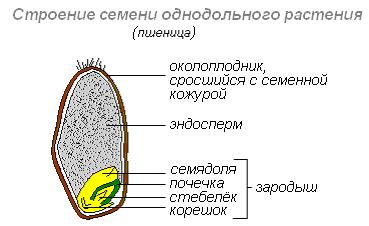 Из чего образуется семя растения