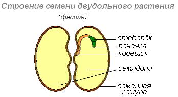 строение семени двудольного растения вывод