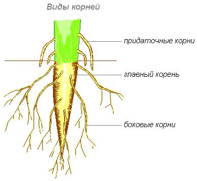 Какие растения имеют мочковатую систему корня
