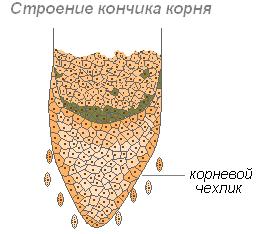 Корнеплоды , какие овощи к ним относятся || Из чего образуется корнеплод