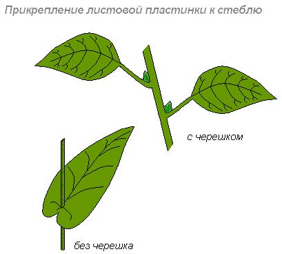 Строение листа яблони