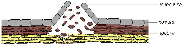 Ситовидные трубки проводящие растворы органических веществ образованы