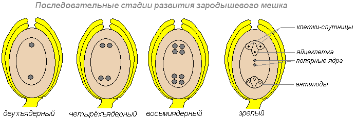 Обоеполые растения примеры