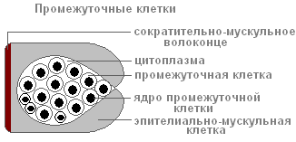 стрекательные клетки гидры расположены