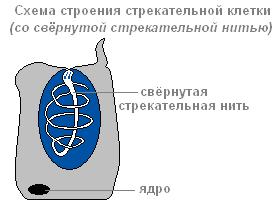 где находятся стрекательные клетки гидры