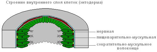 внутренний слой клеток у гидры называется