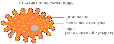 пищеварительные клетки гидры