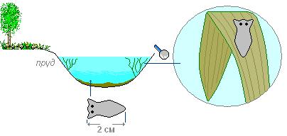 Бесполое размножение плоских червей
