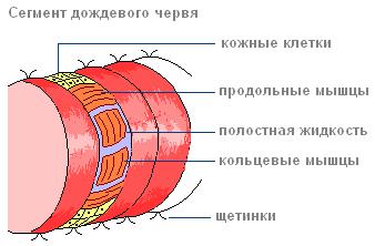 Нервная система и органы чувств плоских червей
