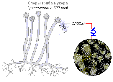 что представляет собой тело мукора