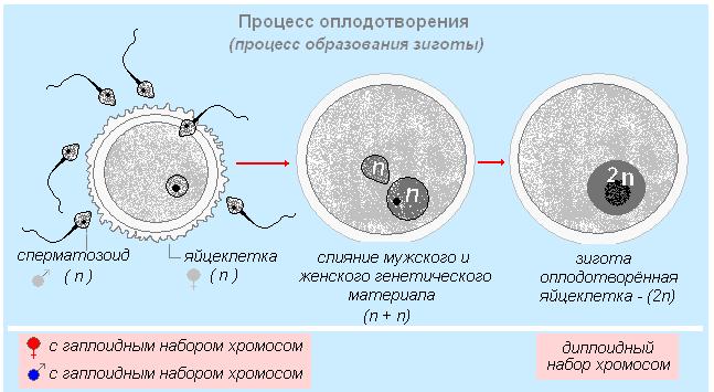 начала, ооциты что это такое картинки диффузии молекул