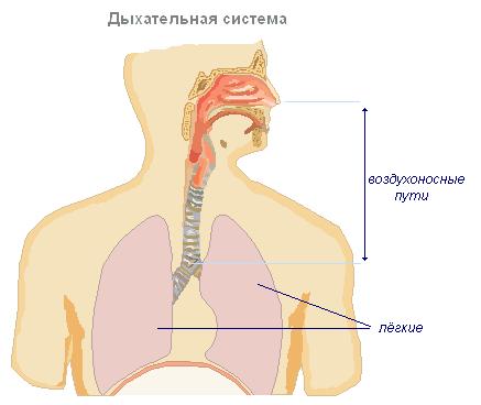 Названия органов дыхательной системы человека