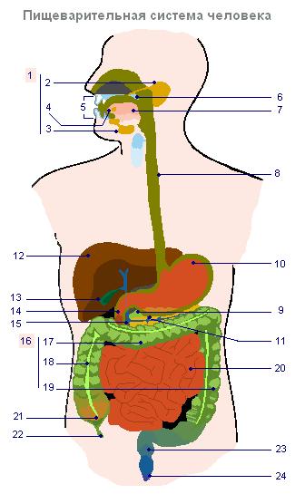 Как еда попадает в желудок