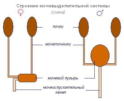 Органы выделения. Схема органов выделения. Строение и функции органов выделения человека