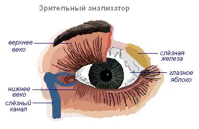 Благодаря чему осуществляется движение глазного яблока